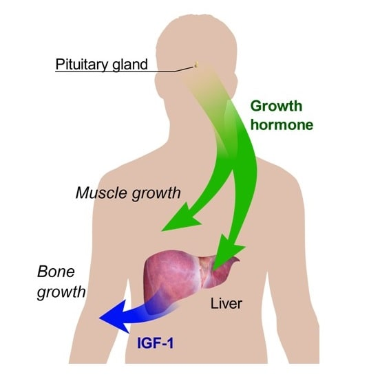 This graphic illustrates the distribution of HGH and IGF-1 throughout the body and their building activities-min
