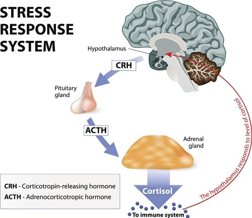 Cortisol and Stress - Stress response system