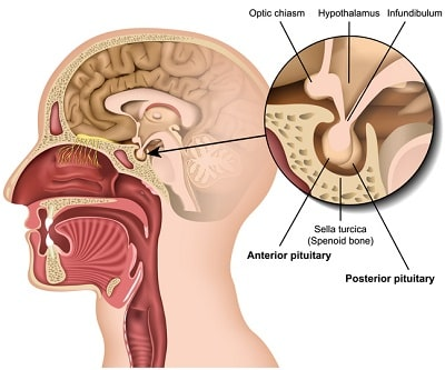 pituitary gland and hgh production