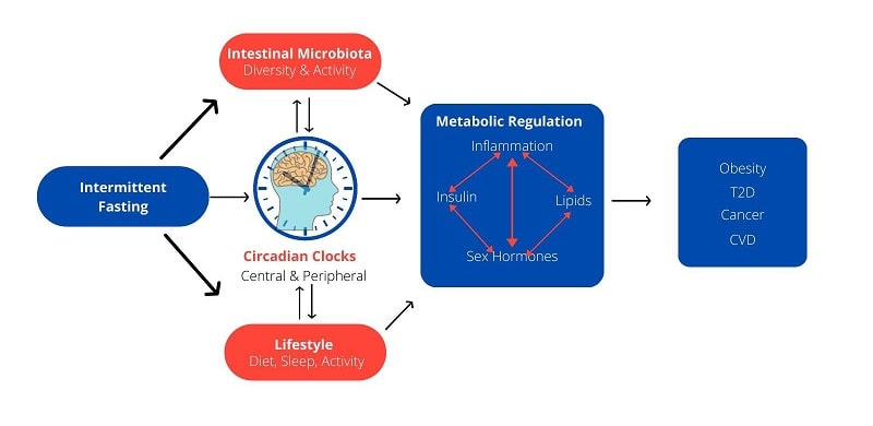 Circadian Clocks and Intermittent Fasting