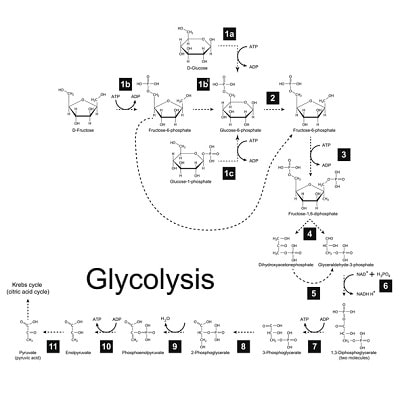 Glycolysis metabolic pathways in the human body