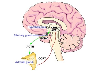 Hypothalamus and pituitary gland common work scheme