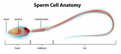 sperm cell anatomy