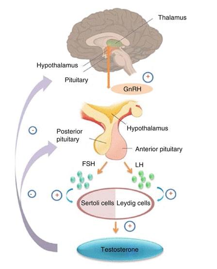 spermatogenesis illustration