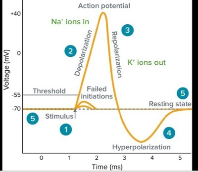 action potential neurons