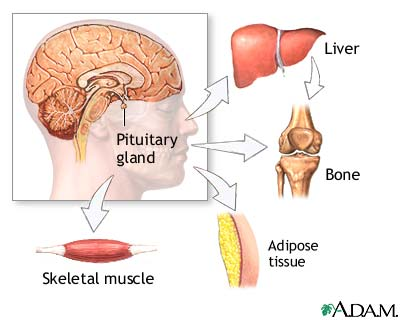 pituitary gland and hgh