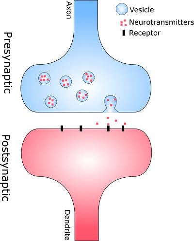 pre post synapse
