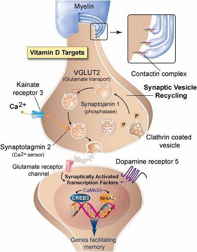 vitamin d neurotransmitter